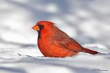 Cardinal rouge (Île Sainte-Hélène, 5 février 2009)