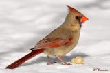 Cardinal rouge (Île Sainte-Hélène, 21 février 2009)