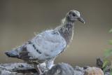 Pigeon biset (Île des Soeurs, 25 Juillet 2009)
