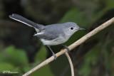 Gobemoucheron gris-bleu (Pointe-des-Cascades,17 août 2009)