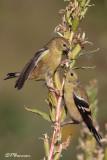 Chardonneret jaune (Lasalle, 4 septembre 2009)