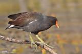 Gallinule poule-d'eau (Île Bizard, 10 septembre 2009)