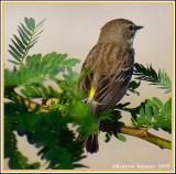 Paruline à croupion jaune (Audubon), Yellow-rumped Warbler (Audubon)