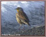 Sturnelle (Meadowlark) sp. Lancaster,13 janvier 2006