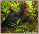 Wattled Jacana (Jacana noir)