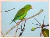 Orange-chinned Parakeet (Toui à menton d'or)