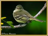 Yellow-green Tyrannulet