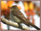 Willow Flycatcher (Moucherolle des saules)