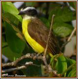 Rusty-margined Flycatcher (Tyran de Cayenne)