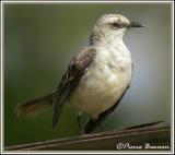 Tropical Mockingbird (Moqueur des savanes)