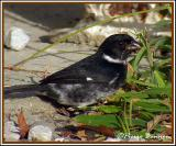 Variable Seedeater (Sporophile variable)