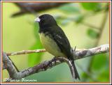 Yellow-bellied Seedeater (Sporophile à ventre jaune)