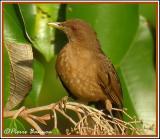 Clay-colored Robin (Merle fauve)