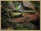 Pauraque (Engoulevent pauraqué) au nid