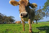 Kuh  / Cow (83956)