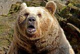 Baer / Bear (0001)
