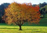 Baum im Herbst (00550)