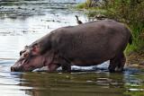 Kruger Hippo