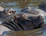 St. Lucia Estuary Hippos