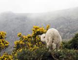 Gap of Dunloe Lamb.jpg