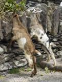Gap of Dunloe Goats.jpg
