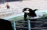1970 - Hugo the Killer Whale at the Miami Seaquarium