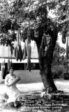 1950's - SausageTree planted by Mrs. Maude Black in 1907 along Ingraham Highway south of Coconut Grove