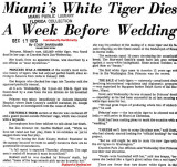 1970 - Miami Herald article about the death of Princess, Crandon Park Zoo's white tiger