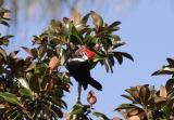 Male Pileated Woodpecker.jpg