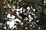 Female Pileated Woodpecker2.jpg