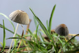 Coprinus plicatilis