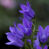 Fleurs du village - Village Flowers
