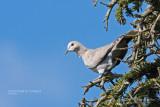 Pigeons et tourterelles / Pigeons and Doves