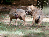 Loup gris commun - canis lupus lupus - grey wolf