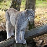 Lynx de Siberie - lynx lynx wrangeli