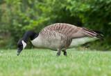 Oies - Geese