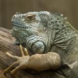 Iguane vert - green iguana - iguana iguana iguana