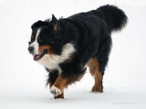 Bernese Mountain Dog - Bouvier bernois