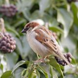 Passer domesticus - Moineau domestique - House Sparrow