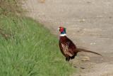 Faisans et perdrix / Pheasants and Partridges
