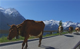 COWS ON THE HINTERWALD PASS