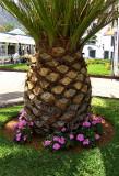 CANARY ISLANDS PALM TREE