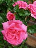 A PINK RAMBLER ROSES . 1   577