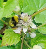 BUMBLE BEES ON BRAMBLES GALLERY