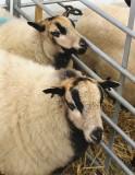 BADGER FACED SHEEP