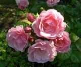A ROSE CLUSTER   632