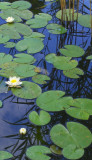 WATERLILIES & REED REFLECTIONS