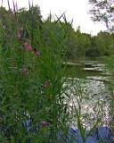 ROSEBAY WILLOWHERB BY THE LAKE