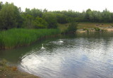 SWANS BY THE REEDBED
