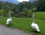 LINDERHOF SWANS